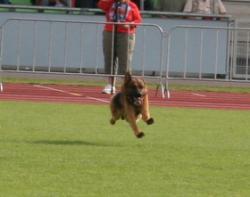 Konan fliegt auf den Helfer zu - Schutzdienst BSZS 2009