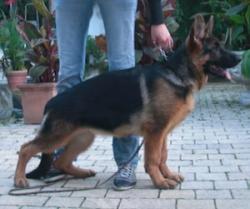 Tyra Blue-Iris   nach Kollin und Germany Blue-Iris 16 Wochen alt