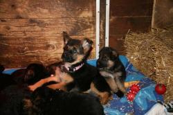 Welpen nach Elischa & Paer vom Hasenborn 5 Wochen alt & Mausimaus