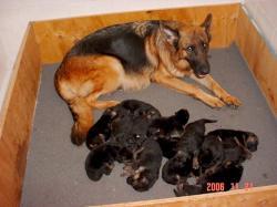 Zahara mit ihren 14 Welpen nach Zidan von Grabfeldgau 01